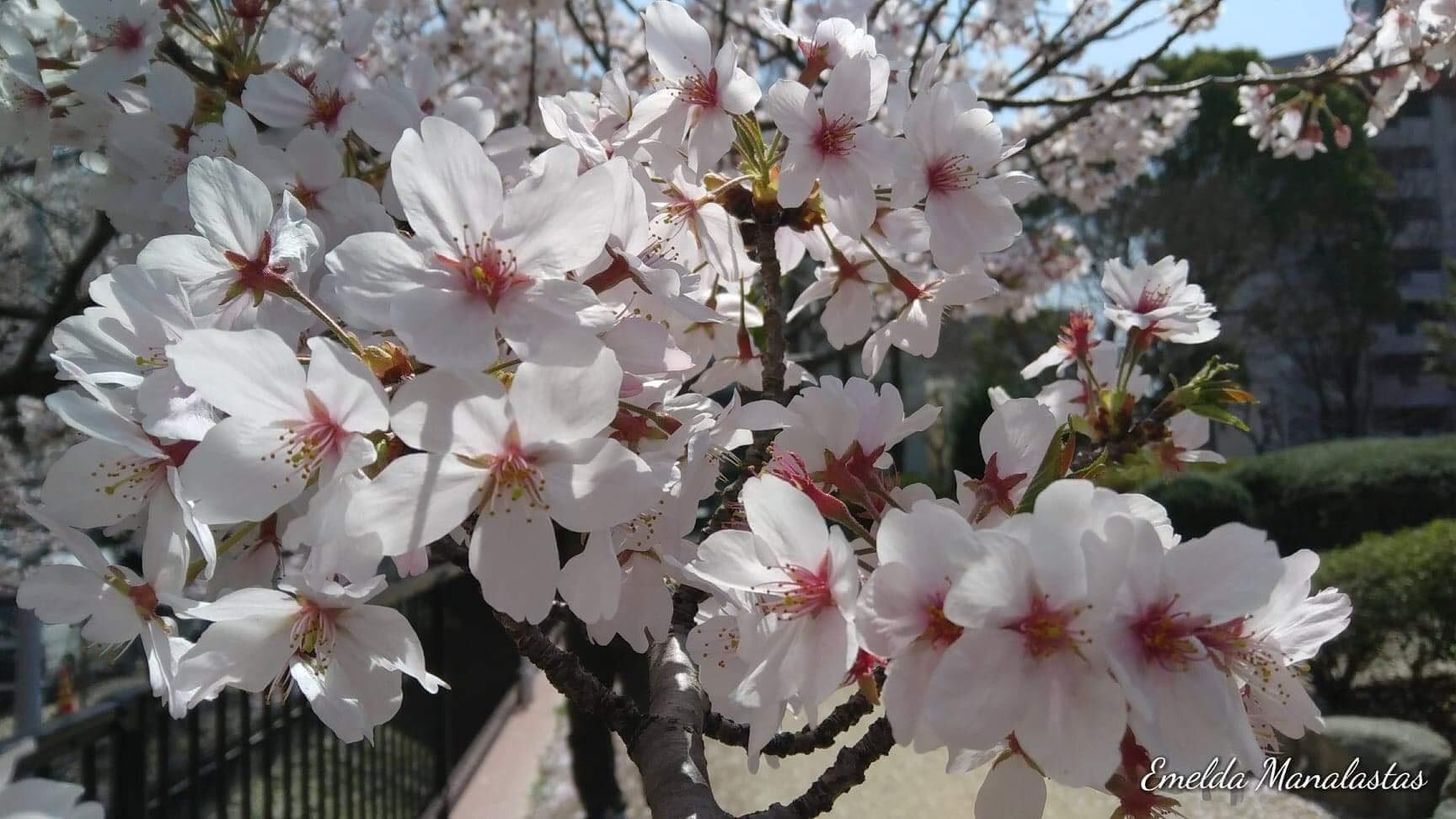 The wondrous beauty of Sakura – Emelda Manalastas