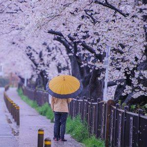 sakura time - sonny wardhana