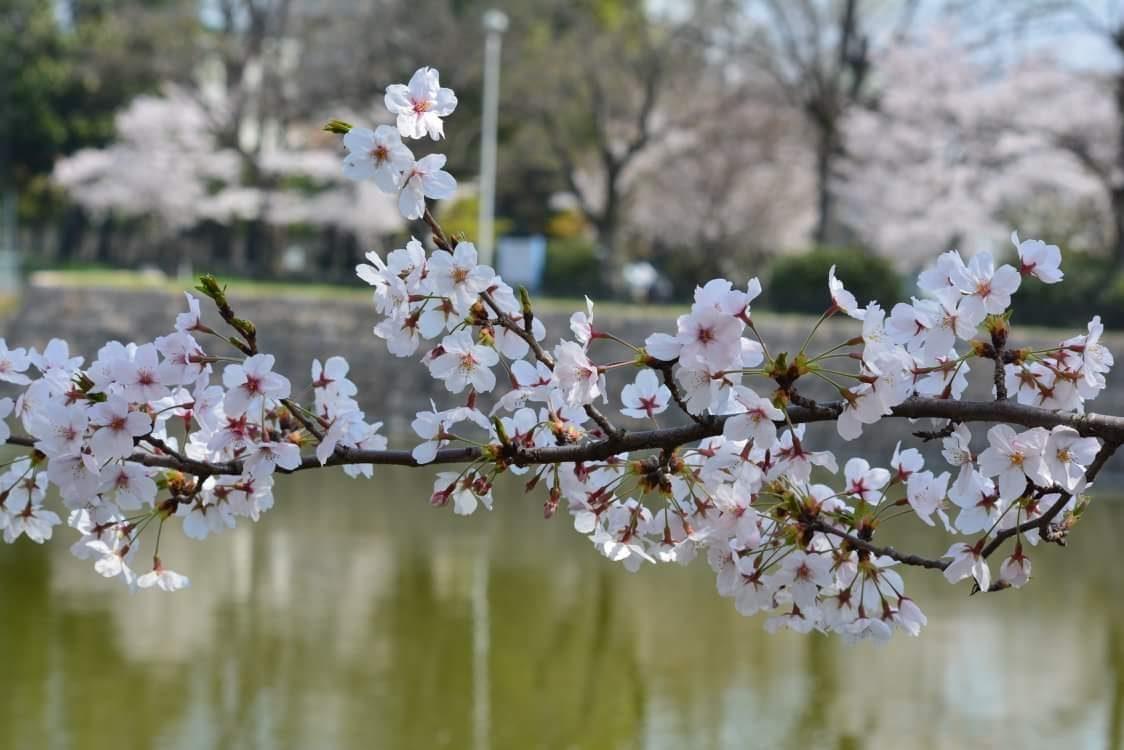 Sakura- Beauty and Fragility – Randa Flores-Arellano