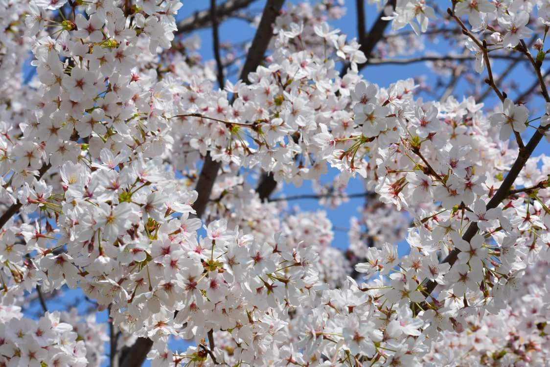 Beauty and Fragility – Sakura – Randa F. Arellano