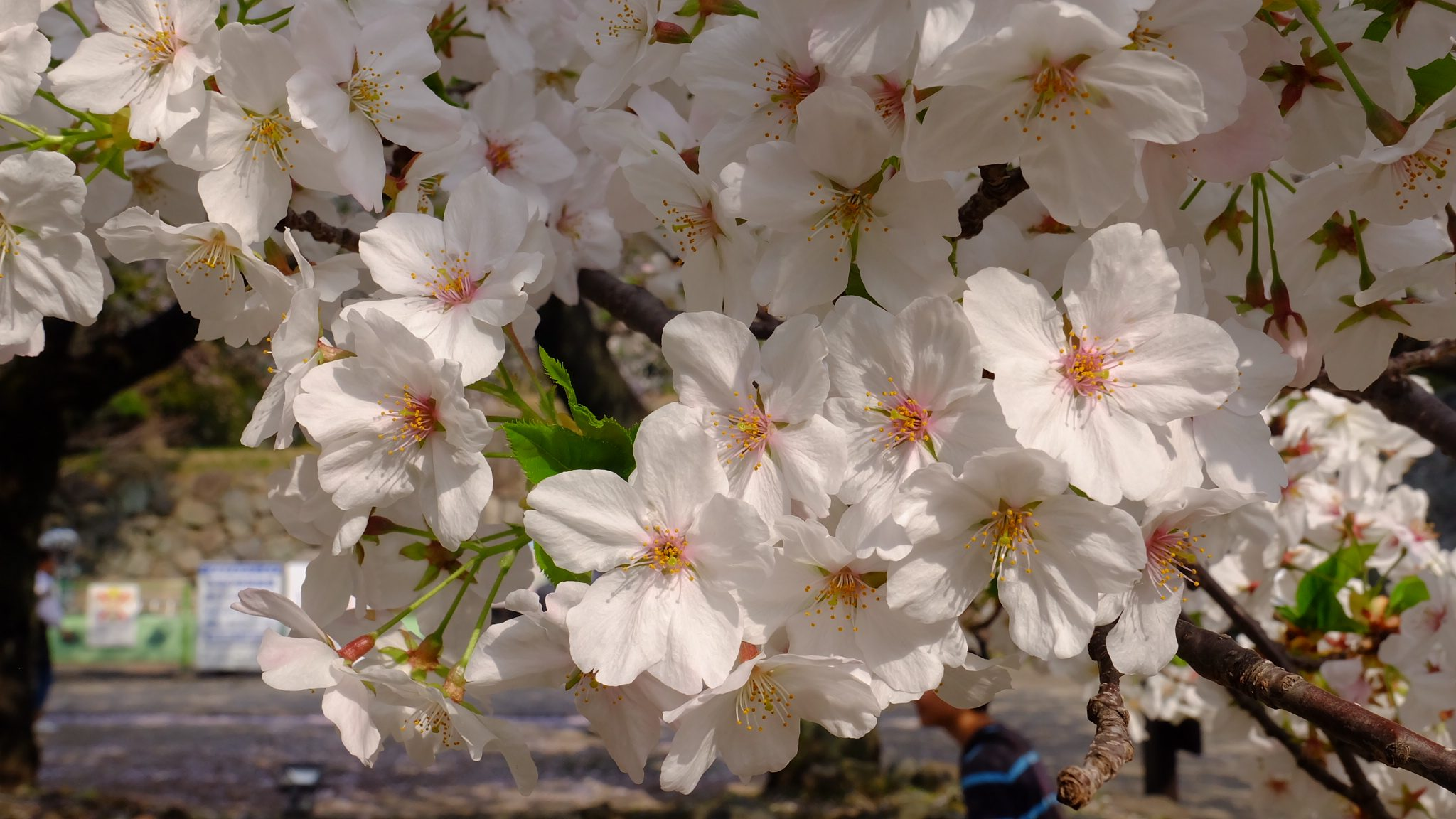 Full Bloom - Loraine Zozobrado
