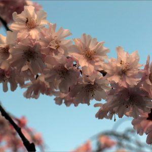 Ichiyo_Sakura_CanonEOS70D - Andy Tan