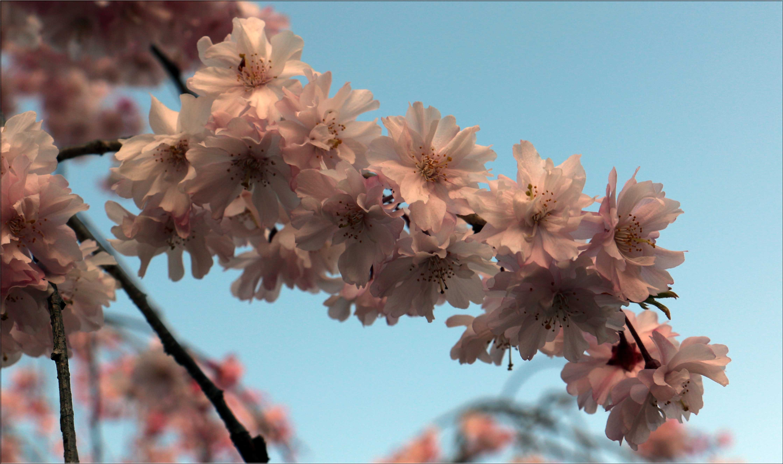 Ichiyo_Sakura_CanonEOS70D – Andy Tan
