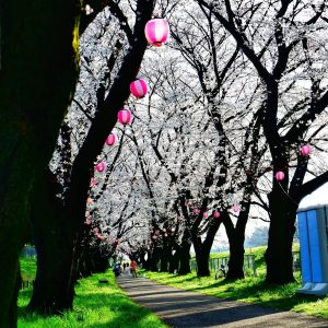 A bliss of serenity while walking on the pathway full of beautiful Sakura - M. Manes