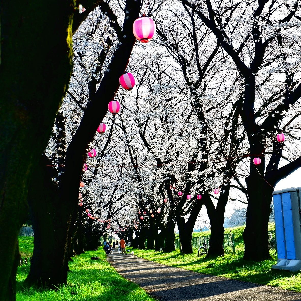 A bliss of serenity while walking on the pathway full of beautiful Sakura – M. Manes