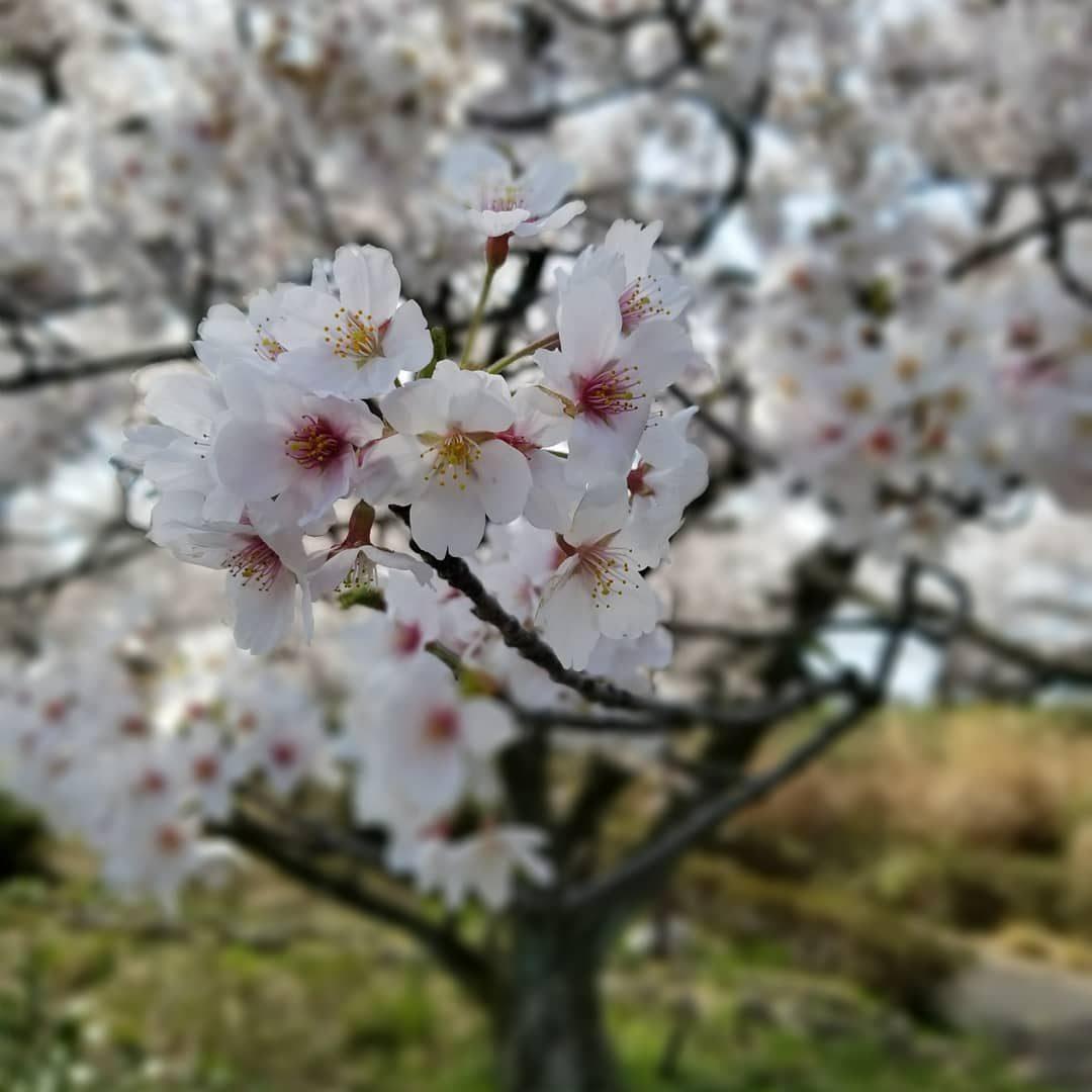 Beautiful sakura – Jayson  Navarro  Toda
