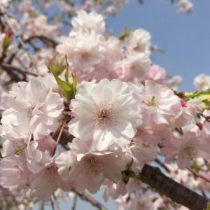 Cherry blossome - Tiadawn