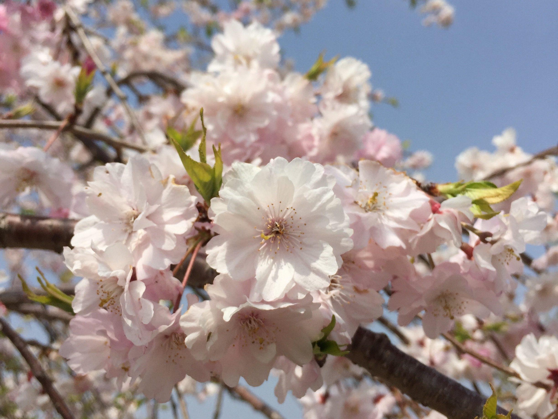 Cherry blossome – Tiadawn