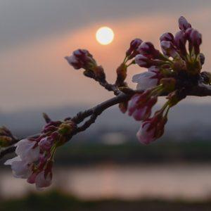 Sakura Sunset - Belle