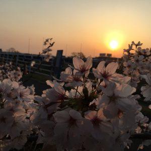 Pink cherry blossoms in setting sun - Chamila Nirohsinie (Niro)