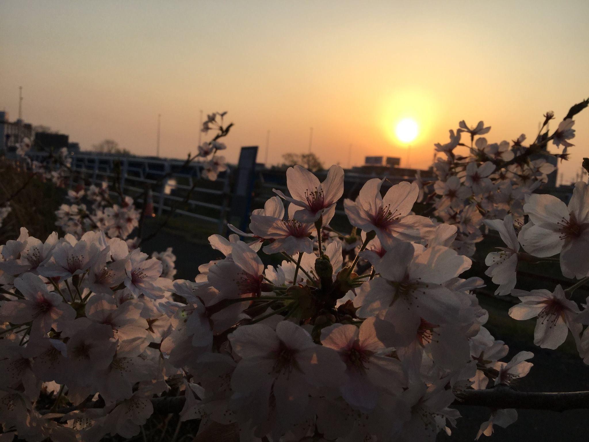 Pink cherry blossoms in setting sun – Chamila Nirohsinie (Niro)