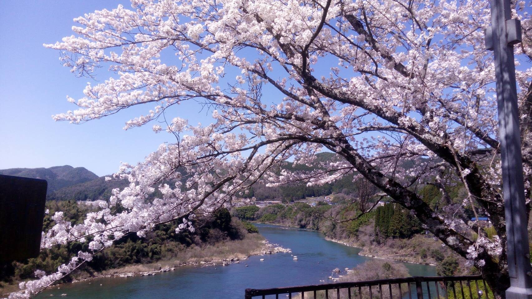 Loi Sago – Maruyama Dam site sakura