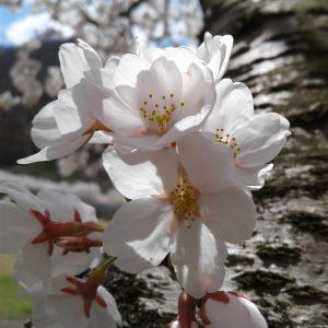 billym manarang - sakura spirit