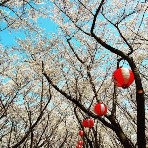 "Shincy Joseph - ""What a strange thing to be alive beneath cherry blossom"" --Kobayashi Issa"""