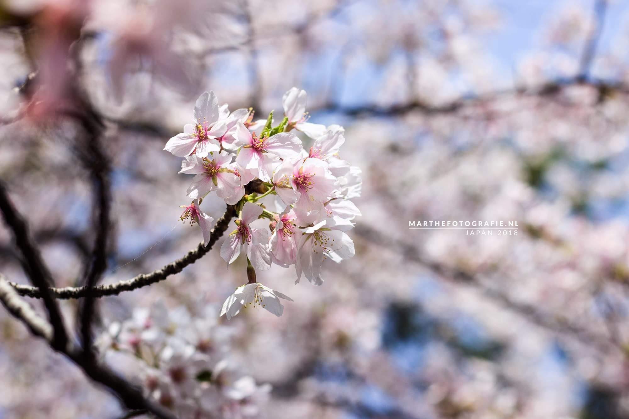 Marthe Efftink – Shukugawa River Cherry Blossom