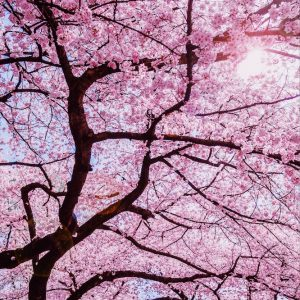 Abdul Hadi - A symbol of beauty and renewal- Sakura