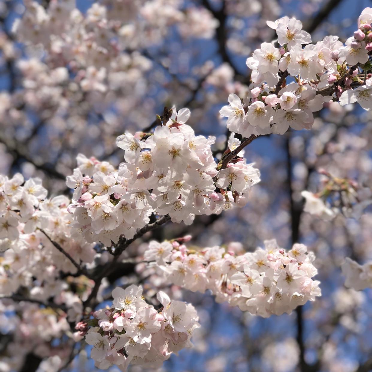 JSuzuki – My Sakura 2018