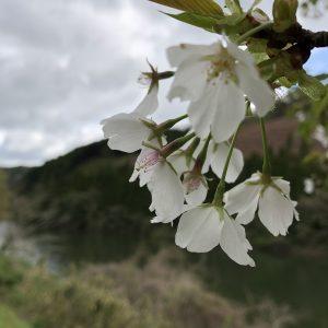 Rachel Billups - Beautiful Japan