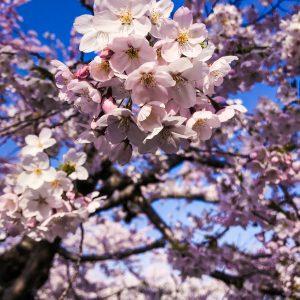 Genesses Delos Santos - Sakura in Hakodate