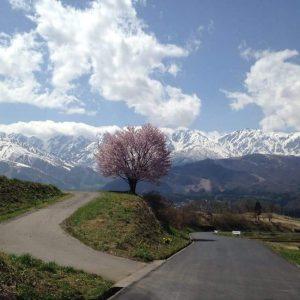 Dave Bohunicky - Lonely Sakura in Hakuba, Nagano.