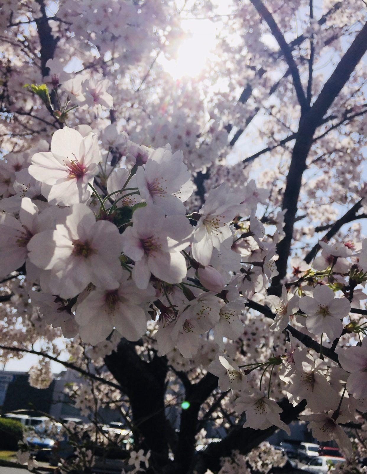 Chet Santos – Take on Commander. Fleet Activites Yokosuka. Take a minute to enjoy the cherry blossoms while the sun shines on you.