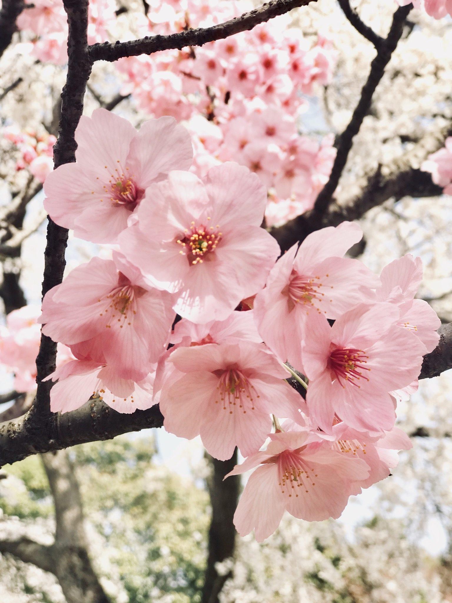 jhona mae palma gil sanchez – nagahama castle sakura