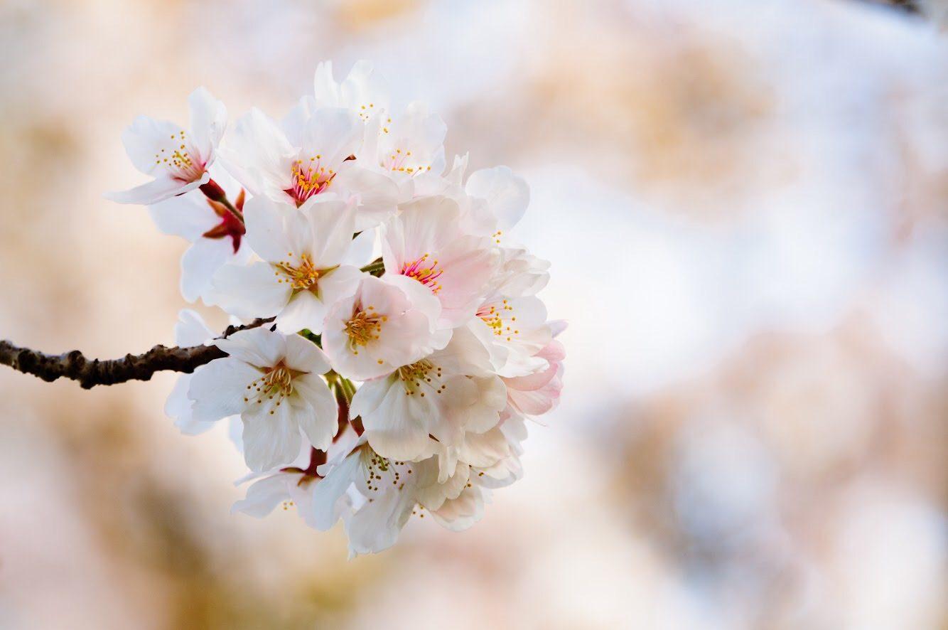 Prichelyn Habeck – Sakura Season