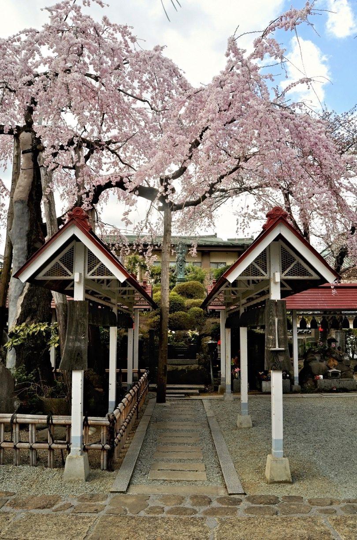 Kari Frazier – Sendai Sakura
