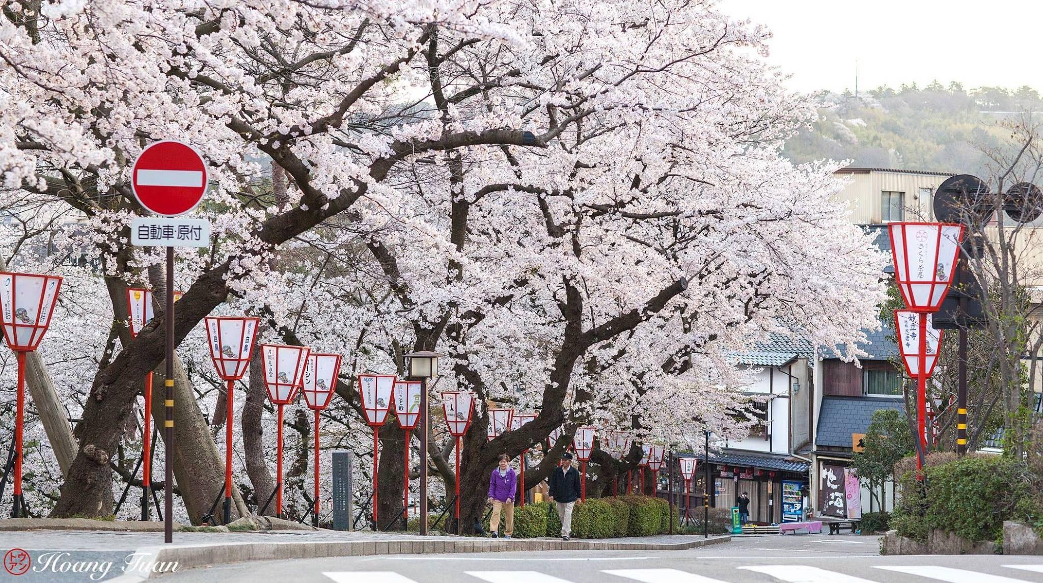 Hoang Anh Tuan – Sakura Blooming in front of Kanazawa Castle