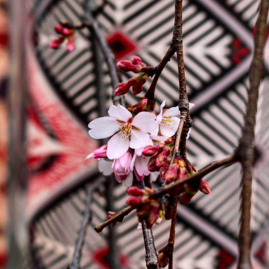 Voisin M – First Sakura – Arashiyama March 2018