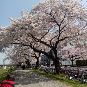 Lyka - My first sakura with me. And first time to saw it personnaly