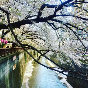 Jennifer Menina - A river full of sakura