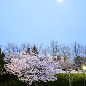 Chiang Tammy - Sakura under the full moon