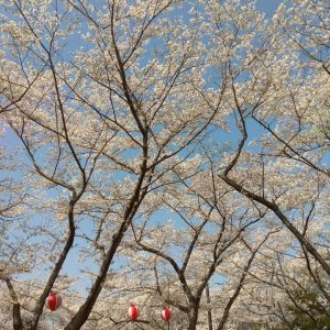 "Shincy Joseph - ""What a strange thing to be alive beneath cherry blossom"" --Kobayashi Issa"""