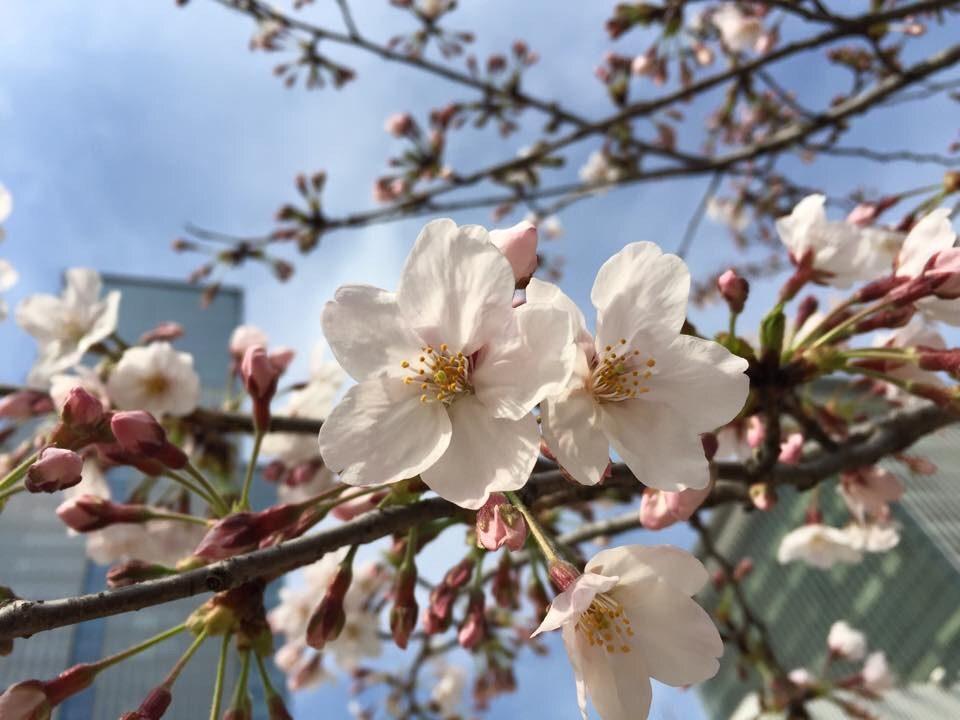 Lynn Uchida – Blossoms of Beauty Fairest Sakura