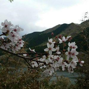 Hadi Nasbey - Sakura Umeda Kiryu