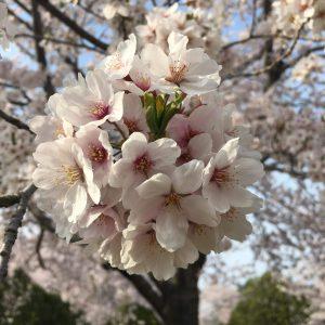 Lourdes razon - Sakura