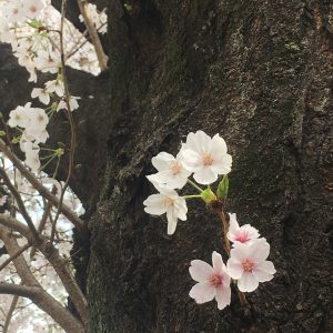 Em - Full Bloom at Higashimurayama Station