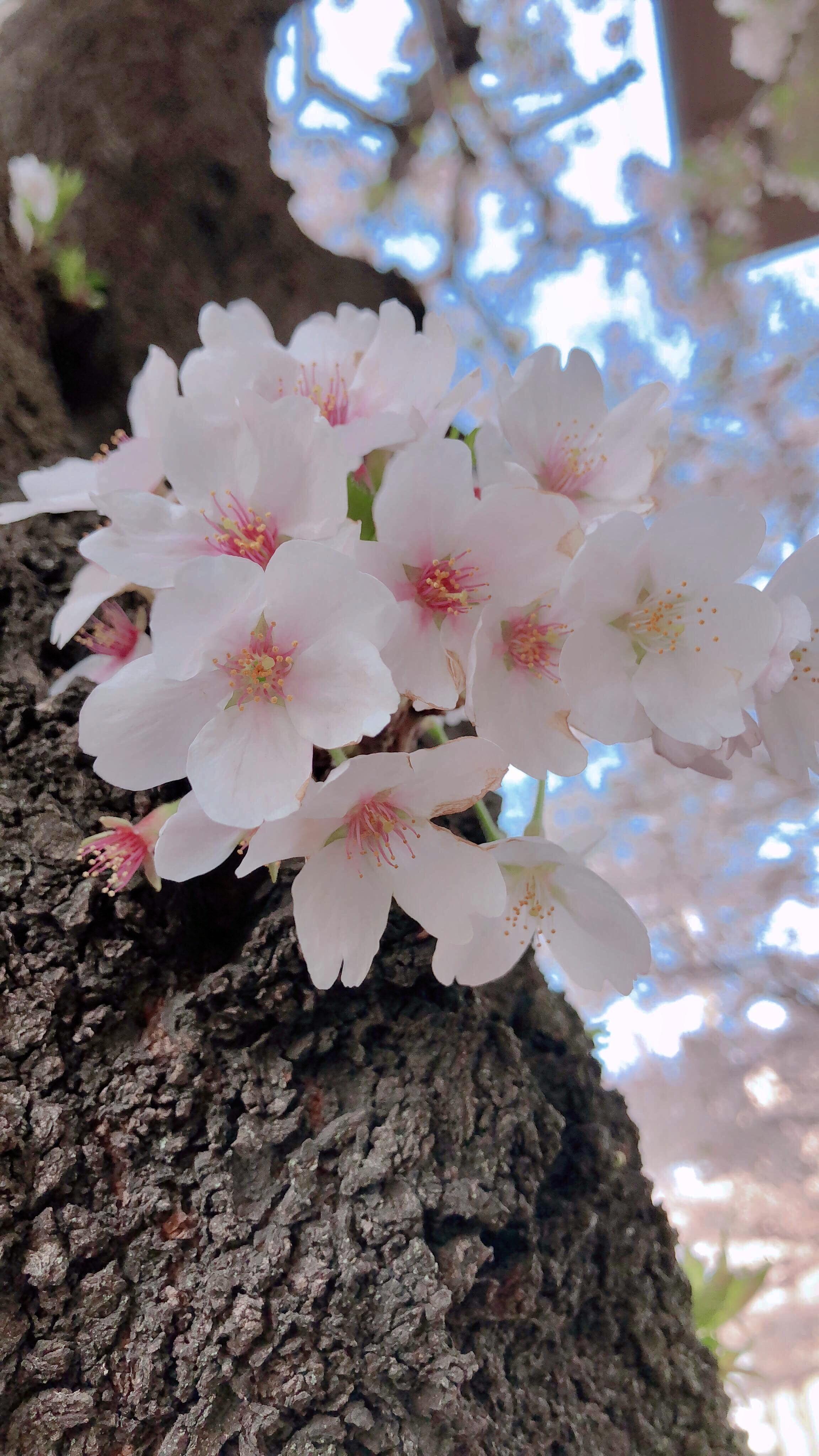 2018 May 14 – 31 – Sakura Photos by JAPAN Forward Readers