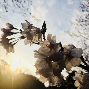 Erlyn Manguilimotan - Sunset and Sakura