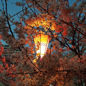 Anne Santos - Lantern in Cherry Blossoms