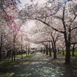 Sara Neuberg - Sakura path