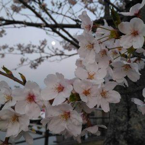 Anda - Sakura and Full Moon