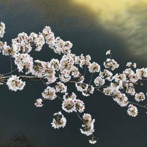 Russell Humphrey - Sakura Hanabi