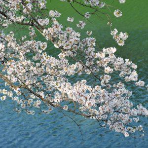 Andi Putra - Blending Sakura