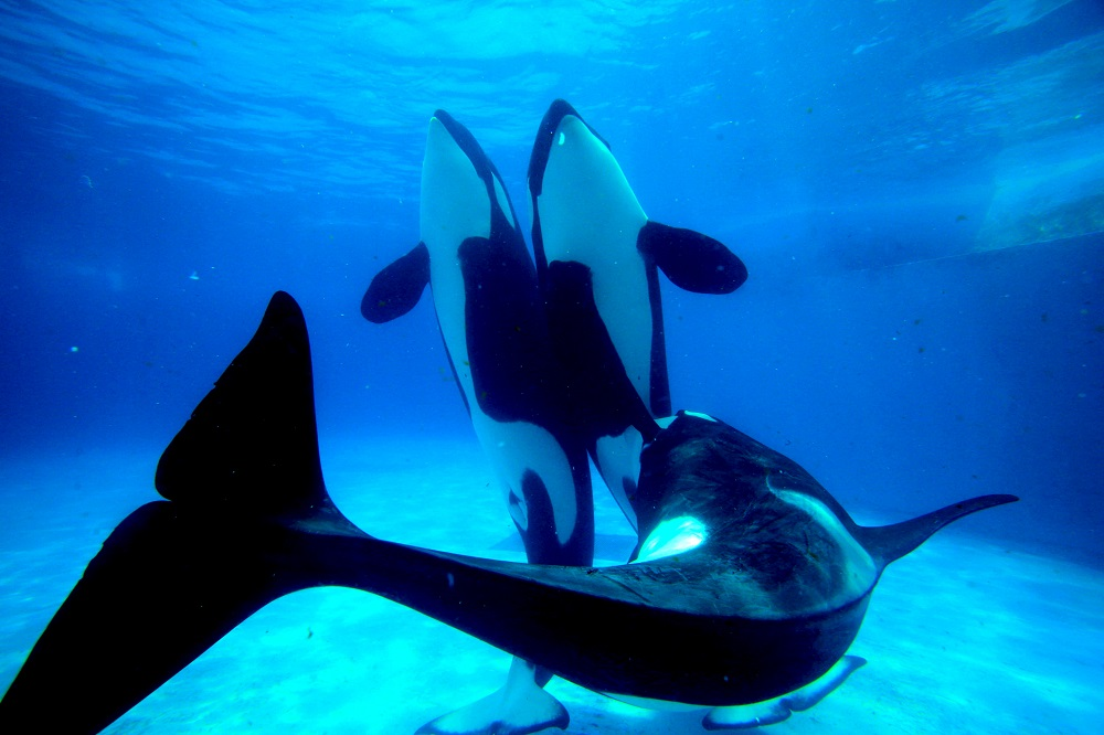 Killer Whales: Bond with These Clever Creatures at Kamogawa Sea World