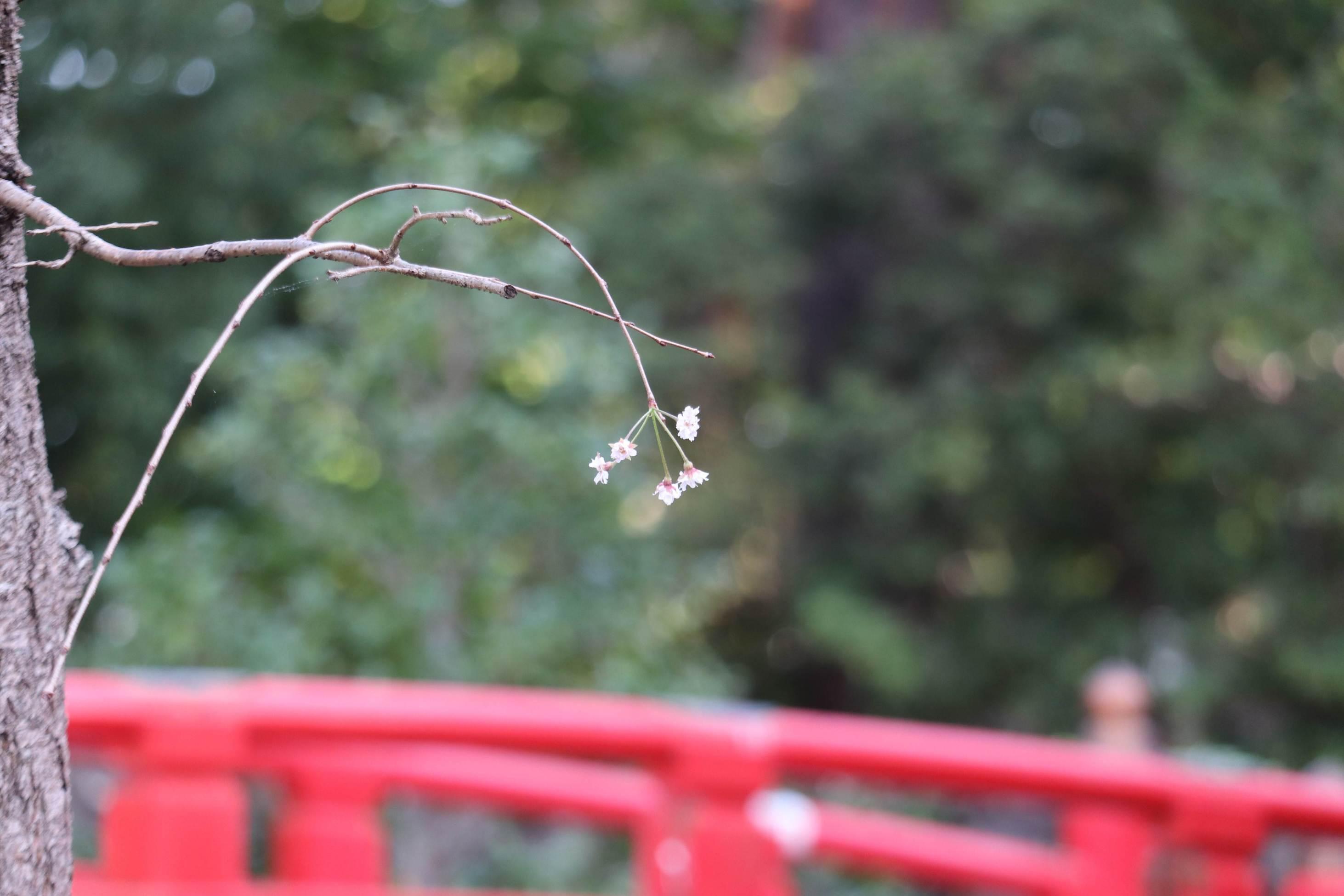 Cherry Blossoms in Autumn: Japan Weather Expert Explains 'Surprise' Sight