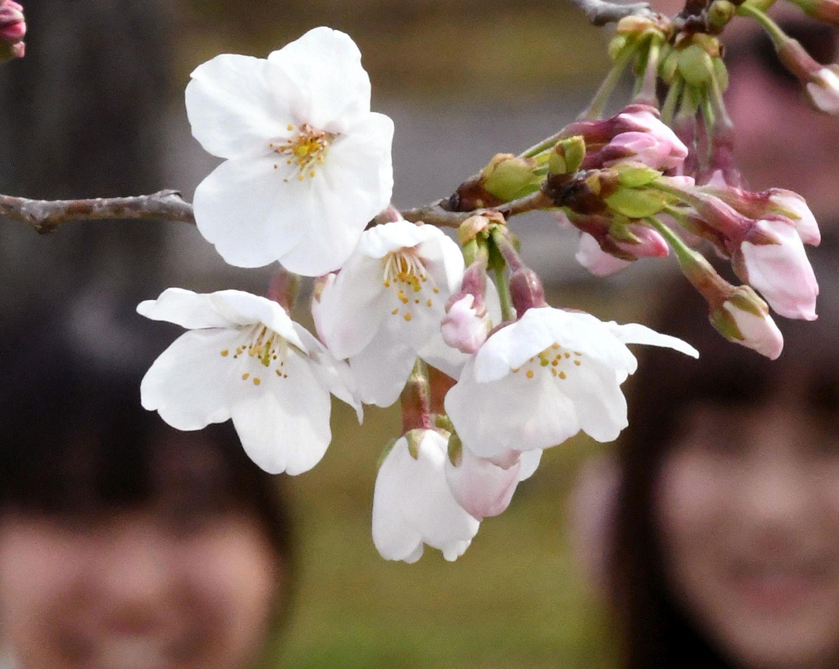 2019 Sakura Cherry Blossom in Japan