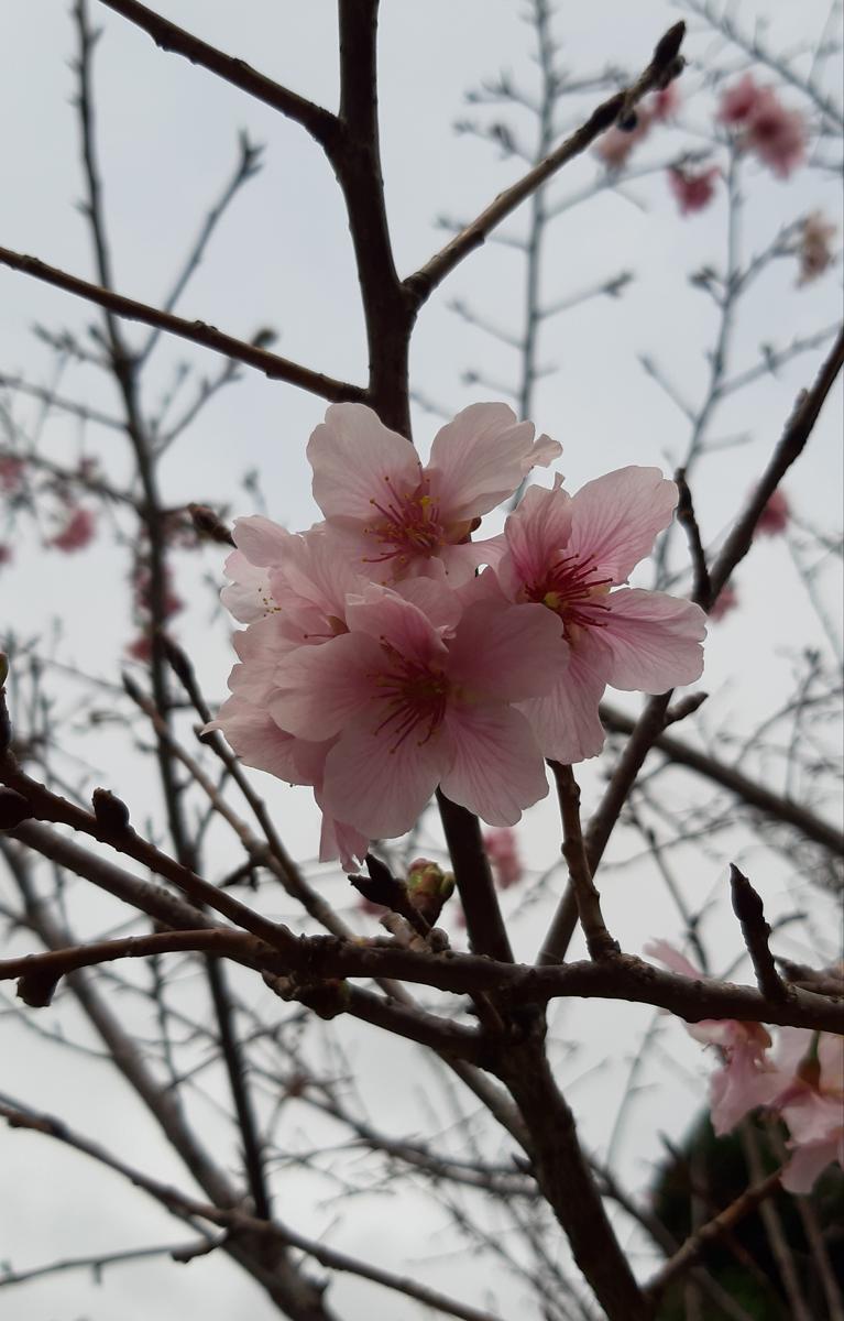 'sakura'