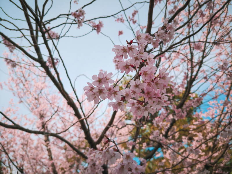 'One of the reasons why i visited Japan. Sakura is love.'